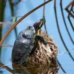 Red-eared Slider (non native)