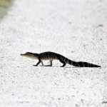 Alligator (juvenile)