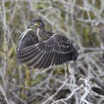 Black-crowned Night Heron (juvenile)