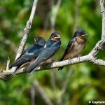 Barn Swallows (juvenile)