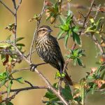 Red-winged Blackbird (female)