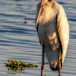 Wood Stork (juvenile)